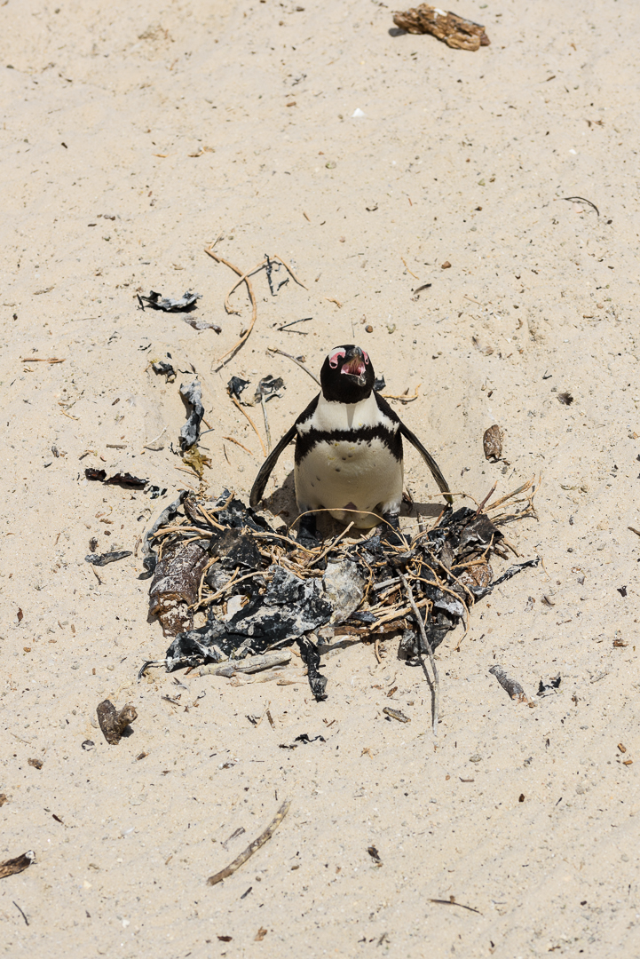 Boulder Penguin Colony